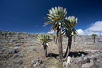 Mountain Lobelias in the Bale Mountains of Ethiopia