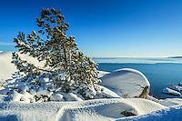 Winter in the Stockholm archipelago. Vinter med snö på en klippa  med en tall vid Nynäshamn i Stockholms skärgård