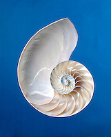 CHAMBERED NAUTILUS SHELL<br />