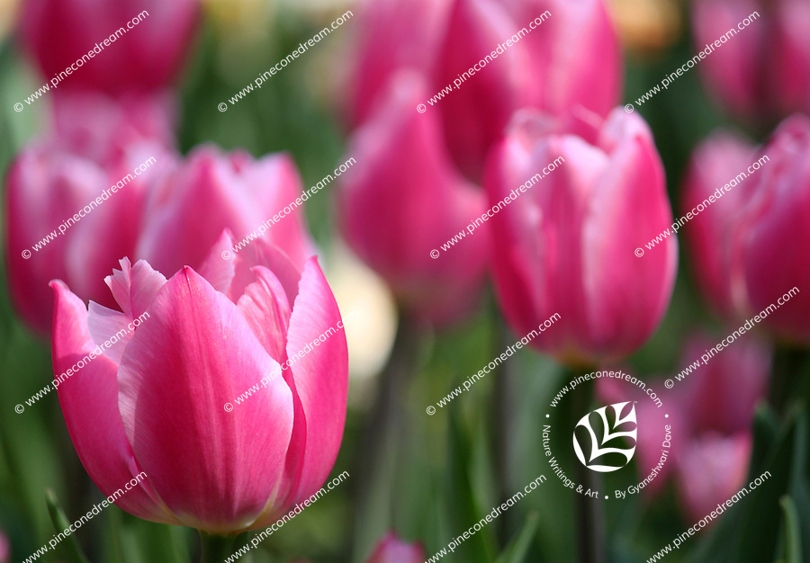 Stock image of blushing pink Tulip flower standing in a Tulips field.