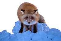 A red fox intently stares from a snow pile in hopes of receiving a hand out on Alaska's north slope.