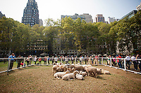"As part of ""Wool Uncovered"" a flock of sheep hang out in Bryant Park in New York on Thursday, September 27, 2012. The sheep and the accompanying installation are part of the ""Campaign for Wool"", a promotional event by the British wool industry to promote wool as a sustainable and natural product and to educate about the benefits of sheep farming. (© Richard B. Levine)"