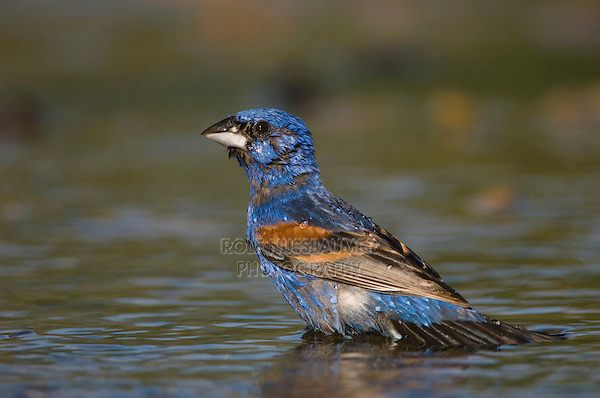 Blue Grosbeak, Guiraca caerulea, male bathing, Willacy County, Rio Grande Valley, Texas, USA, June 2006