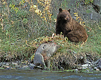 Black Bear (brown phase); Ursus americanus; with deer carcass; WY, Yellowstone National Park
