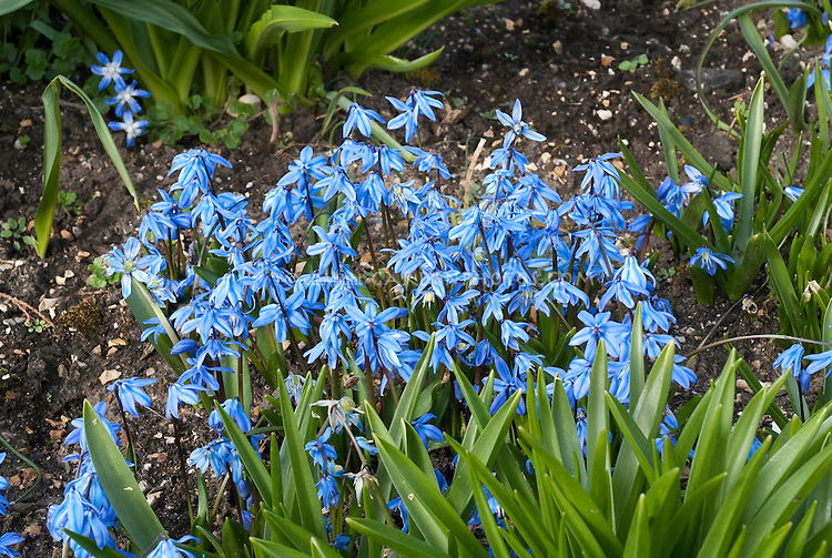 Scilla sibirica spring beauty blue flowers spring bulbs in flower scilla sibirica spring beauty blue flowers spring bulbs in flower in march mightylinksfo