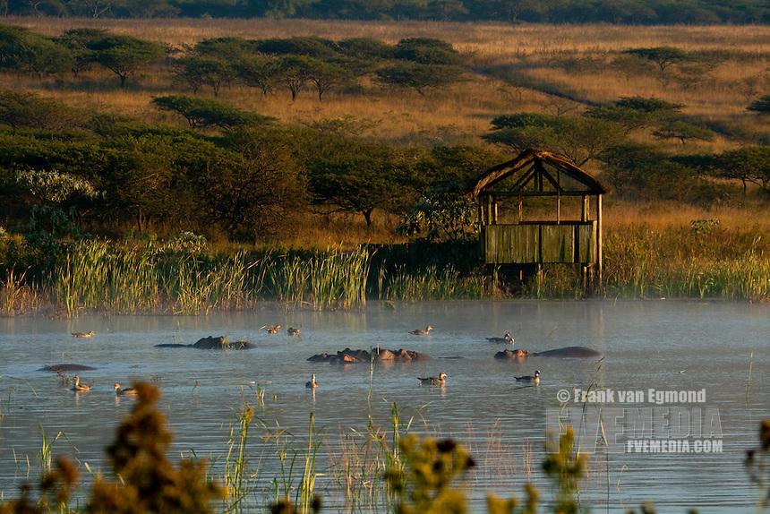 Hippopotamus (Hippopotamus Amphibius)..Hippo in front of a game viewing hide at dawn..April 2009, fall..Tala Game Reserve, Kwazulu-Natal, South Africa.