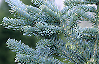 Alpine Fir Abies lasiocarpa (Pinaceae) HEIGHT to 16m <br /> Narrowly conical tree. BARK Greyish-white, smooth with resinous blisters. LEAVES Notched needles, to 4cm long, greyish green above, 2 white bands below; dense, on upper side of shoot, central ones pointing forwards; REPRODUCTIVE PARTS Small male flowers yellow, tinged red; grow below shoot. Female flowers purple, upright; in clusters on same plant. Cones cylindrical, to 10cm long, purple, ripening brown. STATUS AND DISTRIBUTION Native W USA uplands.