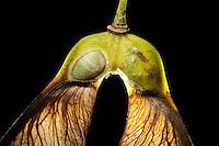 Ahorn Frucht, eine Frucht geöffnet, um den darin liegenden Samen sichtbar zu machen, Früchte, Samen, Same, Früchte sind Spaltfrüchte, mit zwei im Winkel abstehenden Flügeln, geflügelte Nussfrüchte,  Schraubenflieger, Flügelflieger, Berg-Ahorn, Bergahorn, Ahorn, Frucht, Acer pseudoplatanus, Sycamore, Erable sycomore