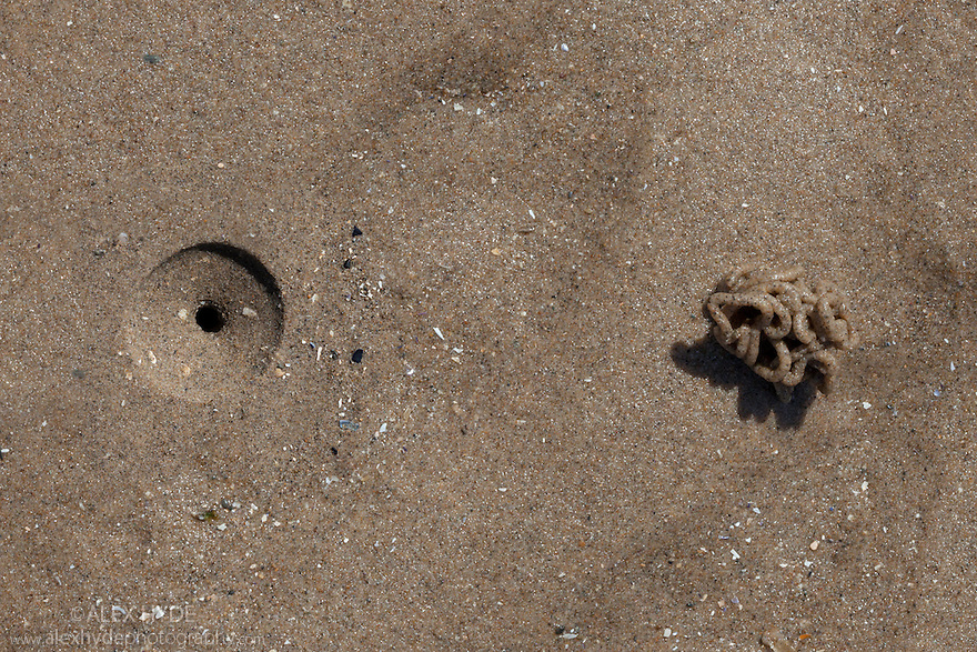 Lugworm (Arenicola maritima) cast and feeding depression on sandy shore at low tide Colwyn Bay, Wales, UK. May.
