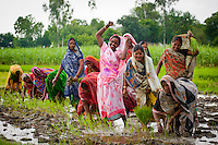 Indian women works in a paddy field in the Northern Indian state of Uttar Pradesh on the 12th of July 2010.