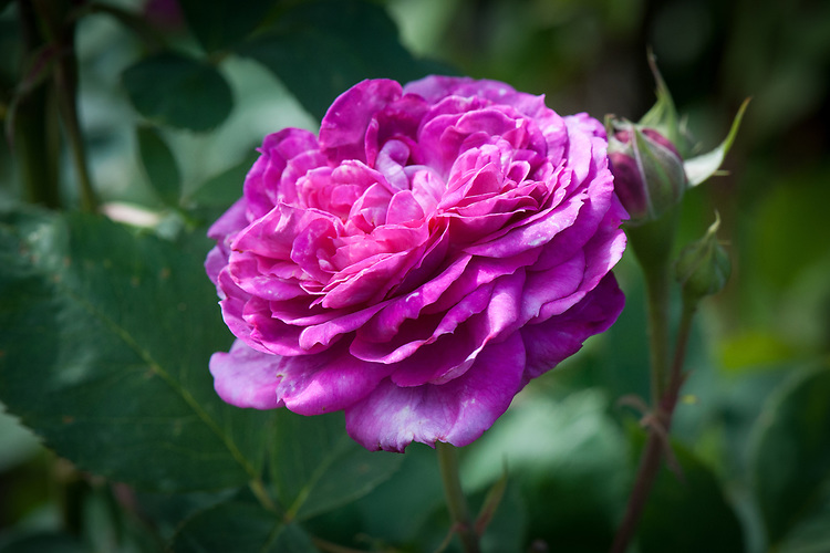 Rosa 'Reine des Violettes', mid June. An old Hybrid Perpetual rose whose flowers usually starts off rich purple then fade to lilac-mauve. The petals are pale silvery pink on the undersides. Originally bred in France, 1860.