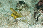 2 Banded shrimp goby (Cryptocentrus cinctus) yellow morph with snapping shrimp partner (Alpheus sp.)