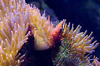 420090002 a captive tomato clownfish amphiprion frenatus rests in a large anemone species is native to western indo-pacific