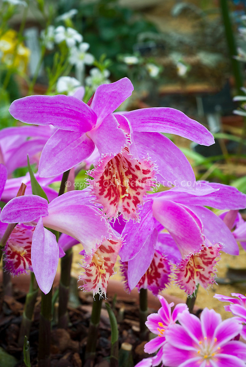 Pleione Marco Polo grex, orchid hardy terrestrial orchids growing
