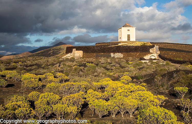 Molino Viejo windmill landscape Kleinia Nerifolia plants, Yaiza Lanzarote, Canary Islands, Spain