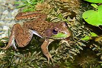 Green Frog (Lithobates clamitans or Rana clamitans melanota)