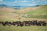 Cattle grazing the turning-grill hills of Kern County gather by a water trough in the Tehachapi Range near Caliente, California.