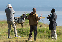 A Grant's Zebra, Equus quagga boehmi, walks past a tourist and two local guides on the shore of Lake Nakuru in Lake Nakuru National Park, Kenya