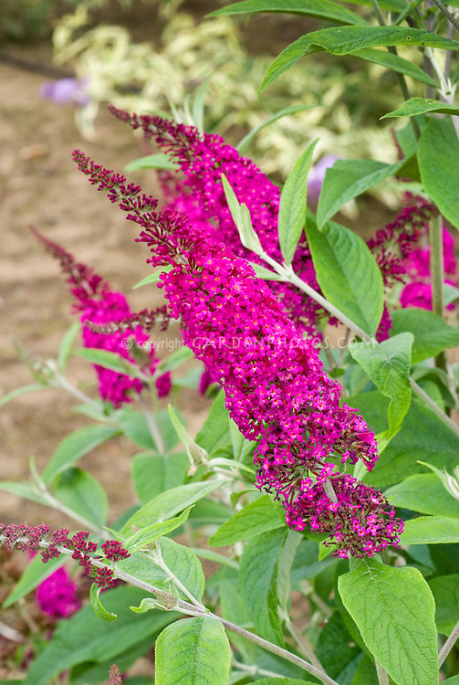 Butterfly Bush Buddleja davidii 'Miss Ruby'