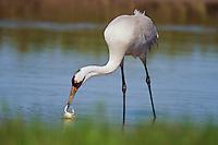 Whooping Crane feeding on blue crab in salt marsh, Aransas NWR, Texas.