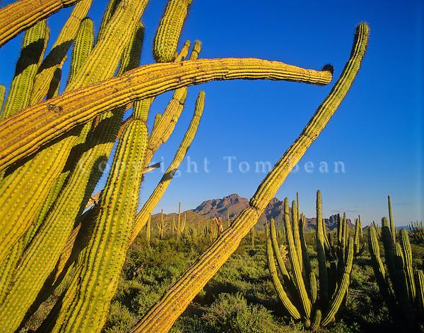 Arms of an organ pipe cactus along Ajo Mountain Drive at Organ Pipe Cactus National Monument, Arizona, AGPix_0234.