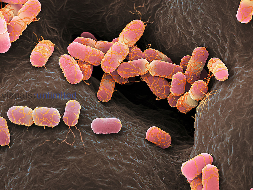 E. coli Bacteria, some dividing by binary fission. SEM, X12,000