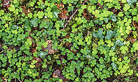 Ground cover found in Dromor Wood.