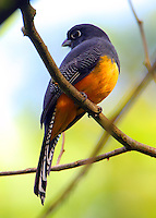Female violaceous trogon
