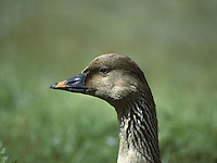 Tundra Bean Goose - Anser fabalis rossicus