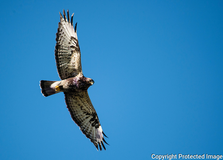 Fjellvåk (Buteo lagopus) ----- Rough-legged hawk (Buteo lagopus)