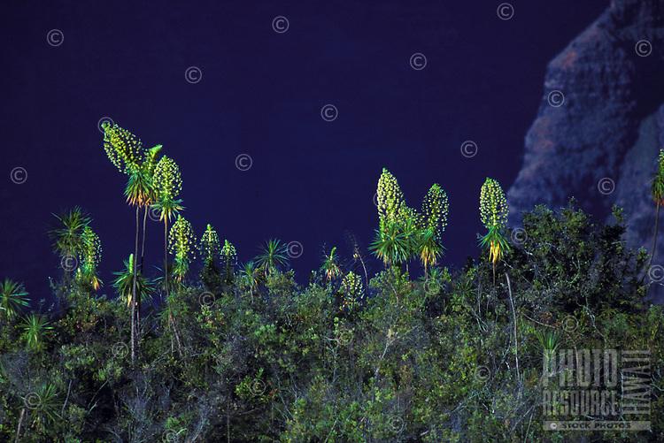 Iliau (Wilkesia gymnoxiphium) on Iliau Loop Trail in May, Waimea Canyon State Park; relative of the silversword, endemic to west Kauai.