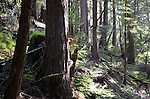 Coast redwoods in Butano State park