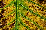Elephant Ear Taro (Alocasia macrorrhizos) decaying leaf, Tawau Hills Park, Sabah, Borneo, Malaysia