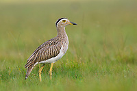 Adult Double-striped Thick-knee (Burhinus bistriatus). Veracruz, Mexico. October.