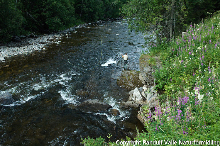 Mann fisker med flue i Sokna, sideelv til Gaula. ----  Man fly fishing for salmon in Sokna, a tributary to Gaula.