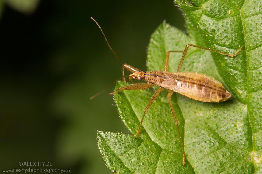 Marsh Damsel Bug {Nabis limbatus}. Strumpshaw Fen, Norfolk, UK. September.