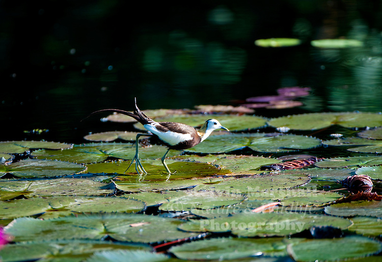 Pheasant-tailed jacana (Hydrophasianus chirurgus) is a jacana in the monotypic genus Hydrophasianus. Jacanas are a group of waders in the family Jacanidae that are identifiable by their huge feet and claws which enable them to walk on floating vegetation in shallow lakes, their preferred habitat. The pheasant-tailed jacana is capable of swimming, although it usually walks on the vegetation. The females are more colourful than the males and are polyandrous. Bundala National Park - Sri Lanka.