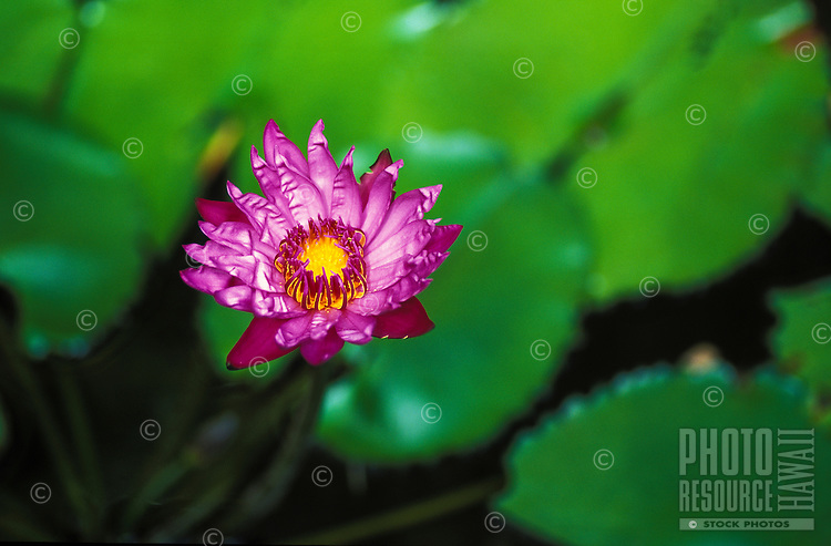 Close up of Water Lily