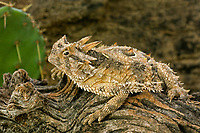 437850015 a wild texas horned lizard phrynosoma cornatum a threatened species sits on a dead mesquite branch in the rio grande valley of south texas
