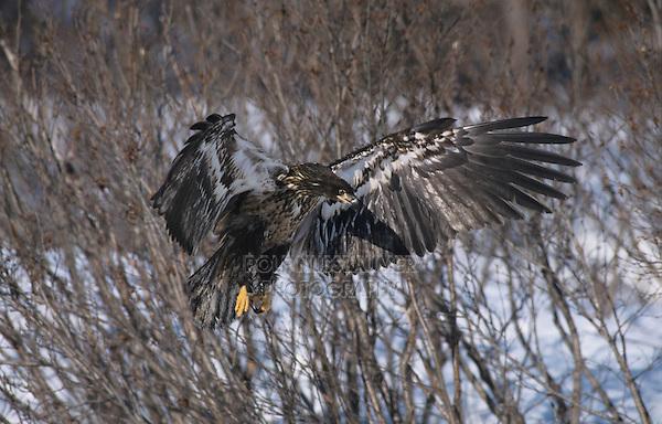 Bald Eagle, Haliaeetus leucocephalus,immature in flight with fish, Homer, Alaska, USA, March 2000