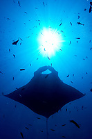 oceanic manta ray, Manta birostris, passing over the sun in the blue, Hin Muang, purple rock, Andaman sea, Indian Ocean, Thailand, Asia