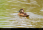 Ring-necked Duck, Female, Hen, LA Arboretum, Southern California