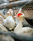 Brazil, Belem, South America, ducks for sale at market