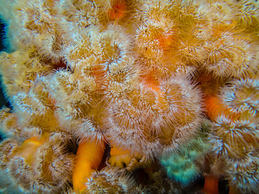 Underwater photo, Plumrose (Sea) Anemone, Freshwater Bay, Chichagof Island, Inside Passage, Southeast Alaska USA.