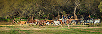 Herding Longhorn Cattle. Cowboys and Cowgirls working and Playing in Arizona. Arizona Cowboys
