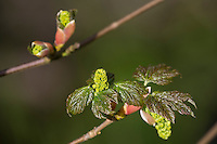 Berg-Ahorn, Bergahorn, Ahorn, aufbrechende Knospe, Knospen, Blattentfaltung, Blattknospe, Blütenknospe, Acer pseudoplatanus, Sycamore, Maple, Erable sycomore, bud, buds, L'érable sycomore, grand érable, érable de montagne, érable blanc
