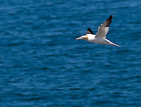 Northern Gannet in flight over North Atlantic Ocean