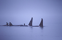 Orca pod, Washington