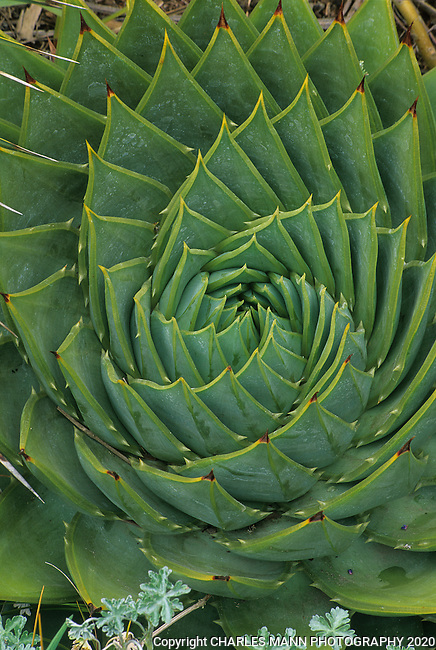 The geometric pattern arramgement of the leaves of Aloe pachyphylla seem almost artificial and make for a dazzling addition to any Mediterranean garden.