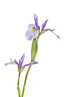30099-00508 Blue Flag Irises (Iris versicolor) (high key white background) Marion Co. IL